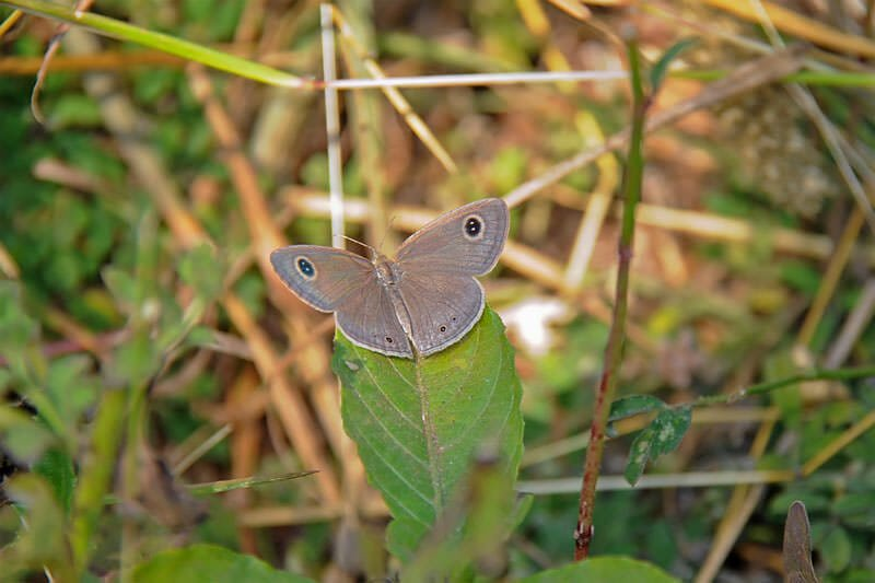 Butterflies of Thailand - Common Fourring