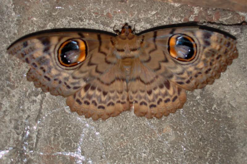 Owl eye moth