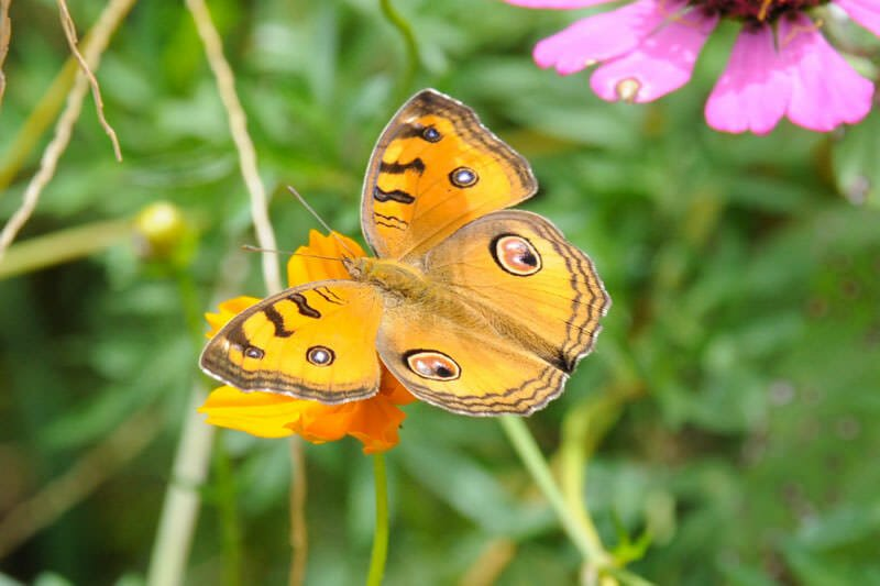 Butterflies of Thailand - Peacock pansy