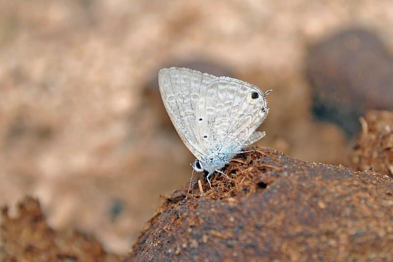 Butterflies of Thailand - Lycaenidae