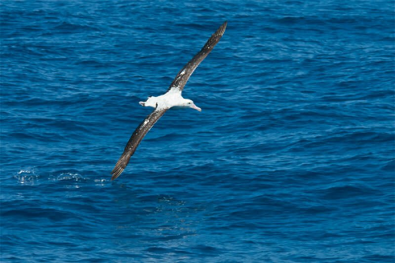 Whale watching at the underwater mountain - Wandering Albatross