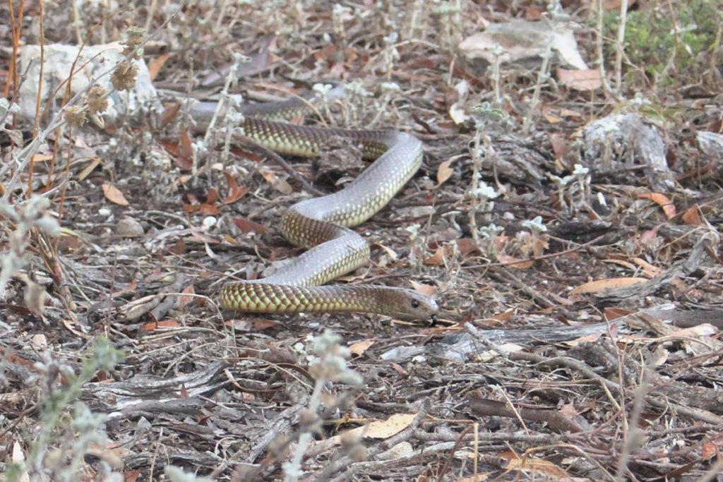 Brown snake