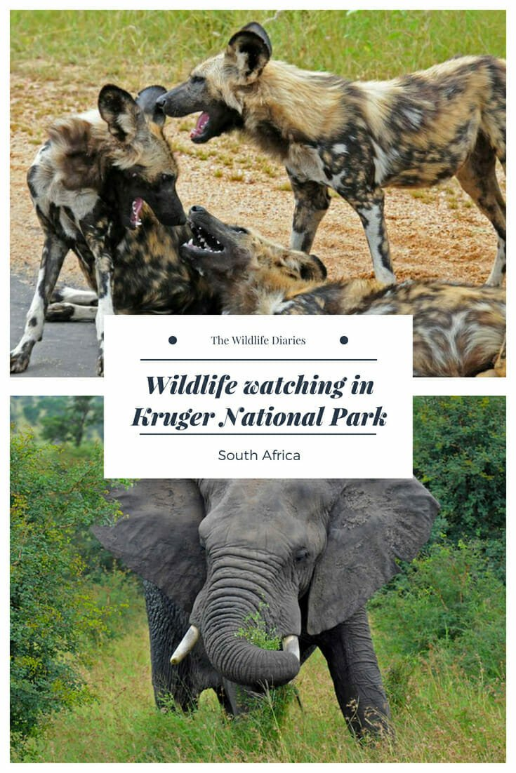 Wildlife watching in Kruger National Park #african wildlife #leopard #cheetah #wilddogs #Marcstreehouse