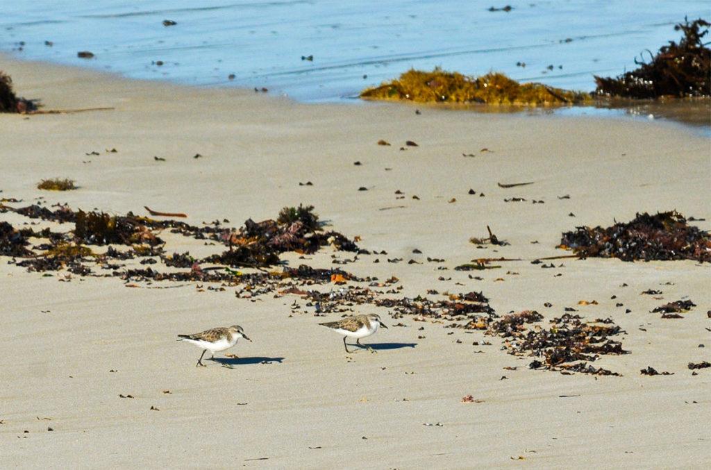 Oriental plovers on Eyre Peninsula