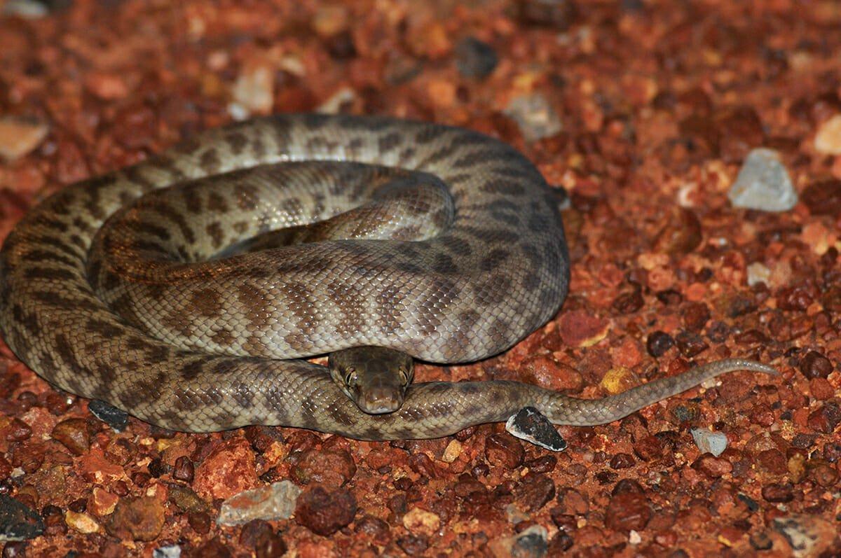 Children's python in Kakadu