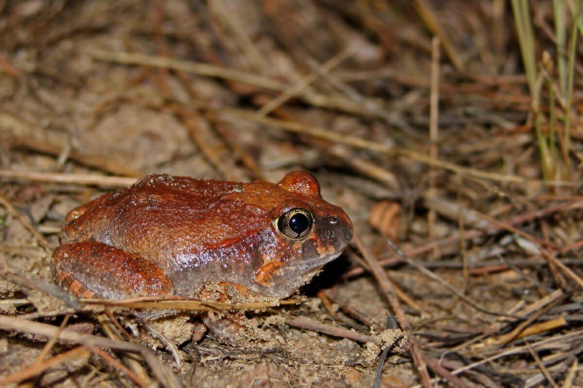 Burrowing frog in Kakadu