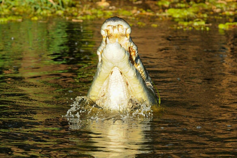 saltwater crocodile feeding in Kakadu national Park