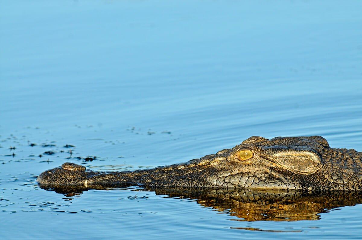 saltwater crocodile in Kakadu National Park