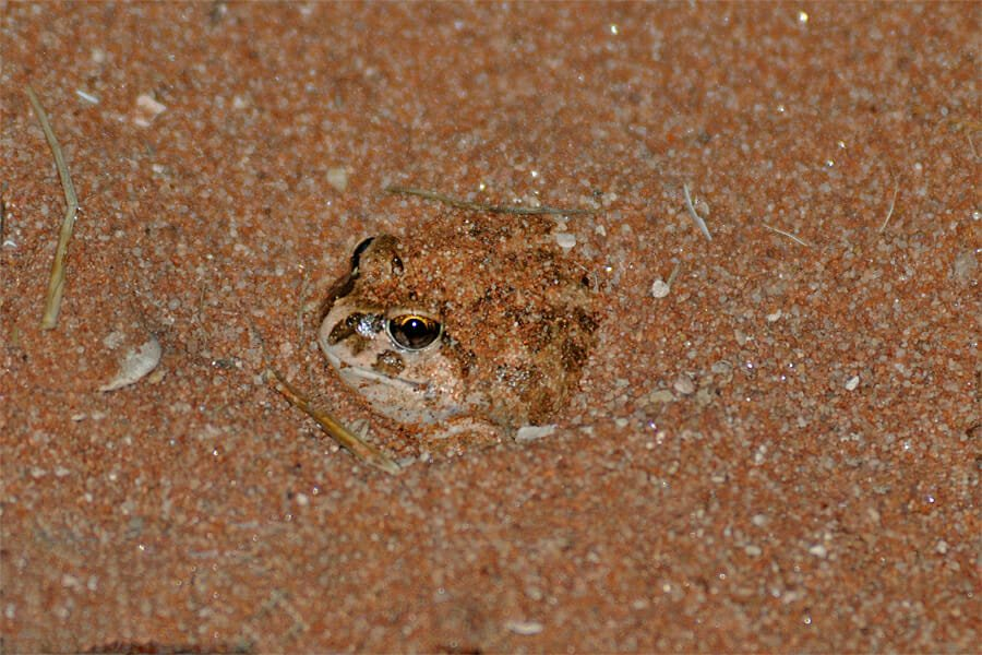 Wildlife of West MacDonnell Ranges - Spencer's burrowing frog