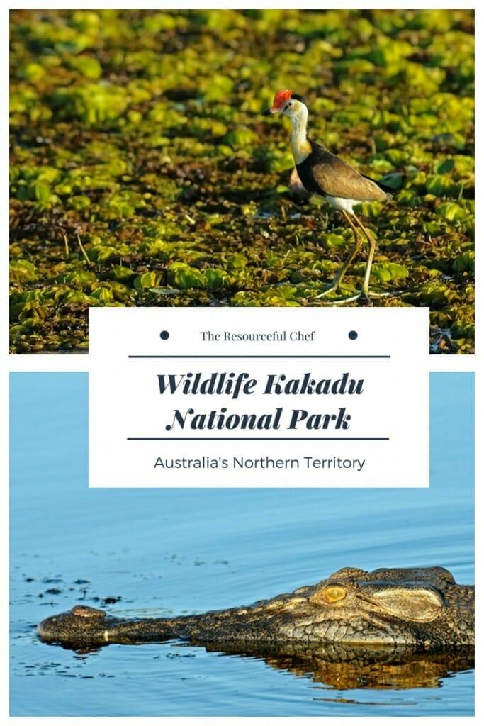 Wildlife of Kakadu National Park in Australia's Northern Territory #crocodile #jesusbird #jacana #kakadu