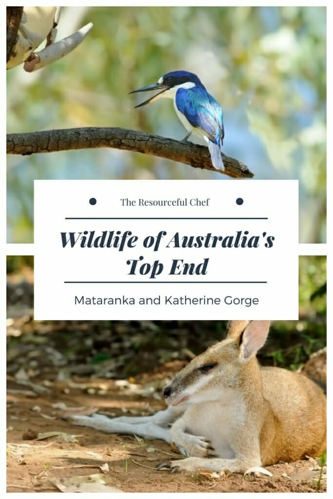 Wildlife of Mataranka and Katherine Gorge in Australia's Top End #AustralianWildlife #wildlifetravel #wildlifeexperience #NorthernAustralia