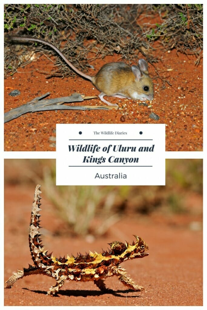 Wildlife of Uluru and Kings Canoyon #hoppingmouse #thornydevil #uluru