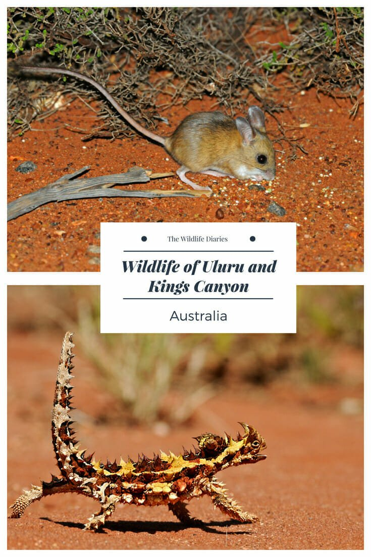 Wildlife of Uluru and Kings Canyon #hoppingmouse #thornydevil #uluru Uluru animals