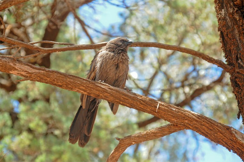 Wildlife of Flinders Ranges - Apostlebird