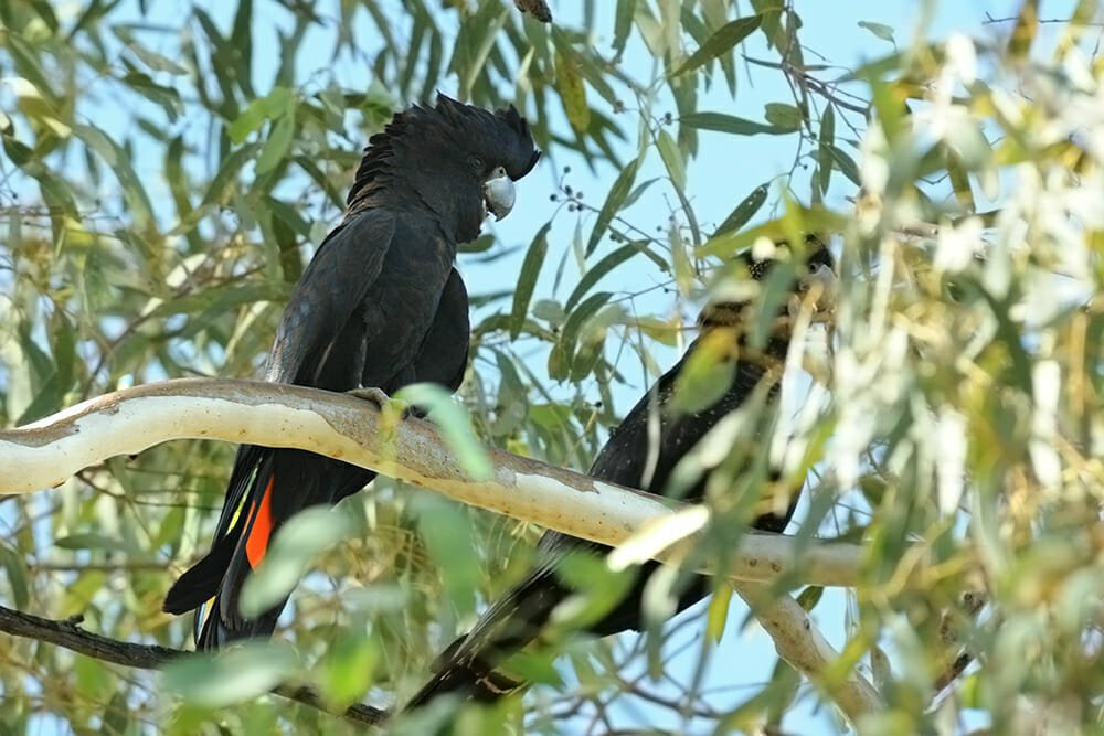 Red-tailed black cockatoo at Simpsons gap