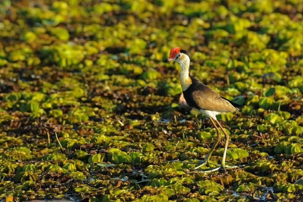 Comb-crested jacana - jesus bird