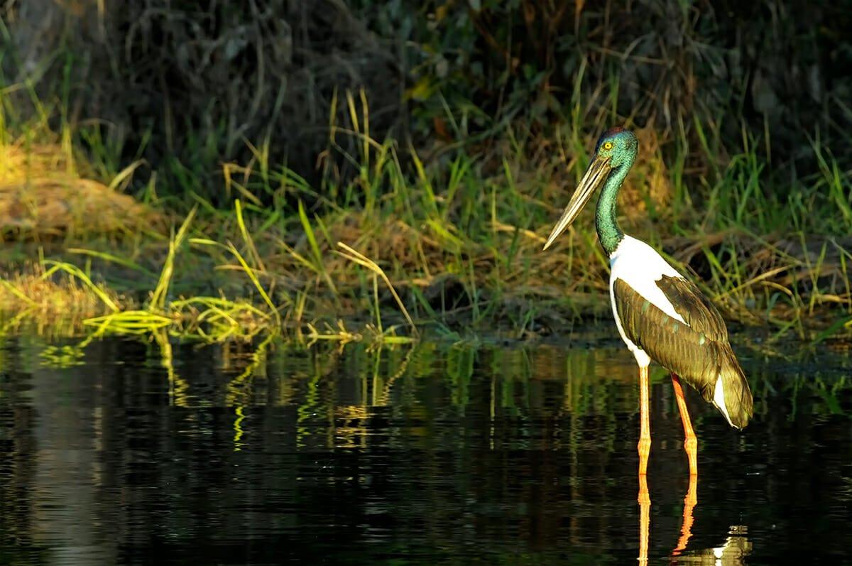 Jabiru in Kakadu National Park