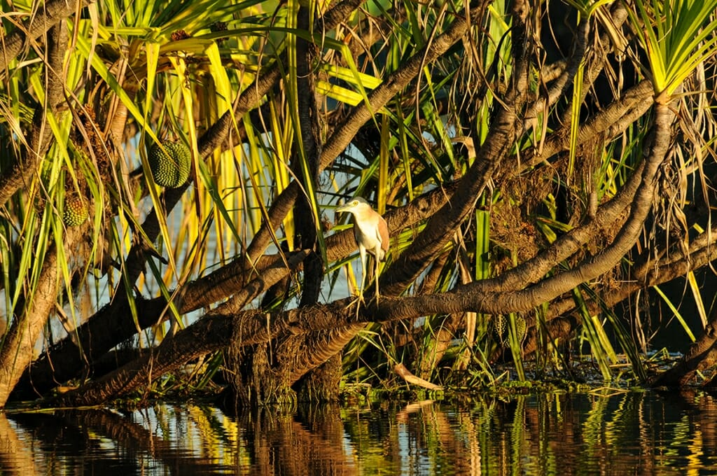 Nankeen night heron in Kakadu