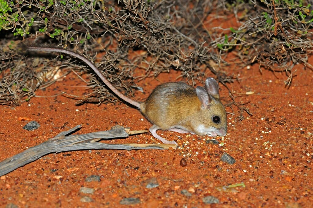 Uluru animals - Spinifex hopping mouse