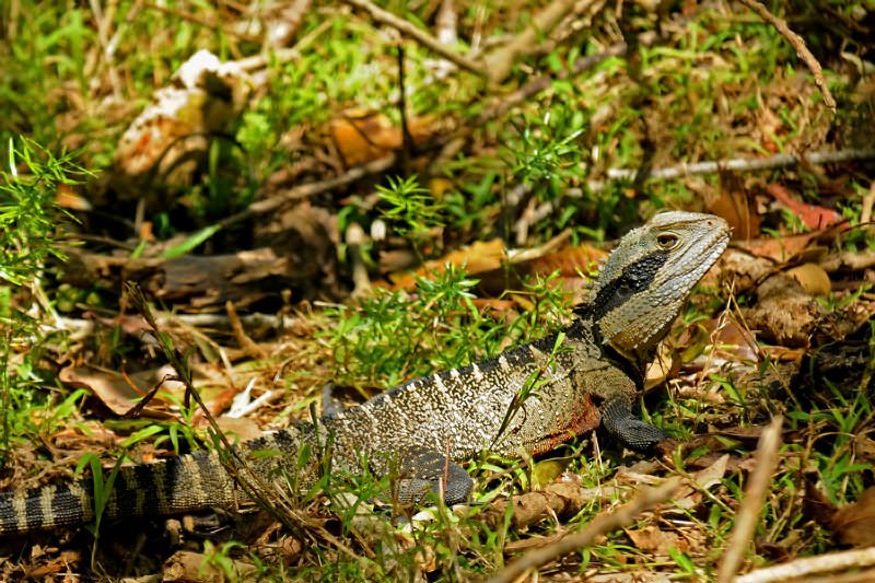 Manly to Spit Bridge walk - Eastern water dragon