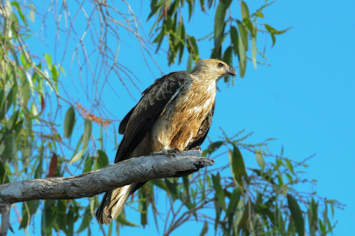 Whistling kite in Kakadu
