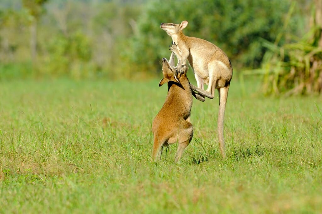Agile wallabies in Mary River - part of Adelaide to Darwin road trip