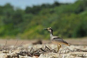 Darwin wildlife - Beach stone curlew at Lee Point, Darwin
