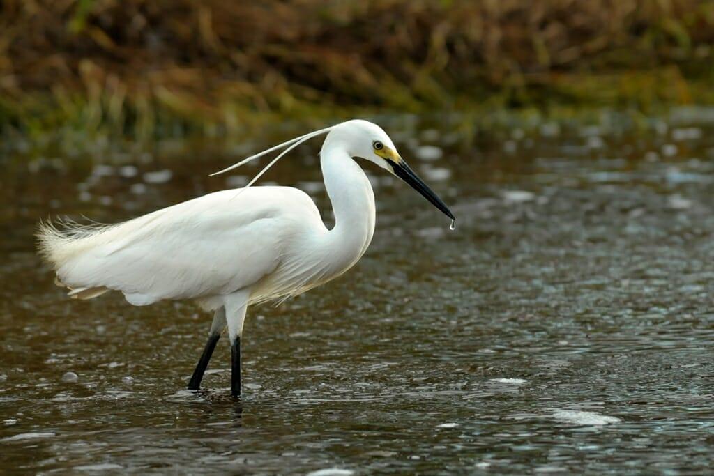Intermediate egret in breeding plumage, Fogg Dam, Australia