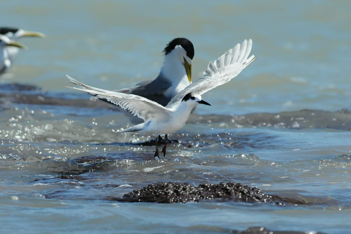 Little tern at Lee Point in Darwin