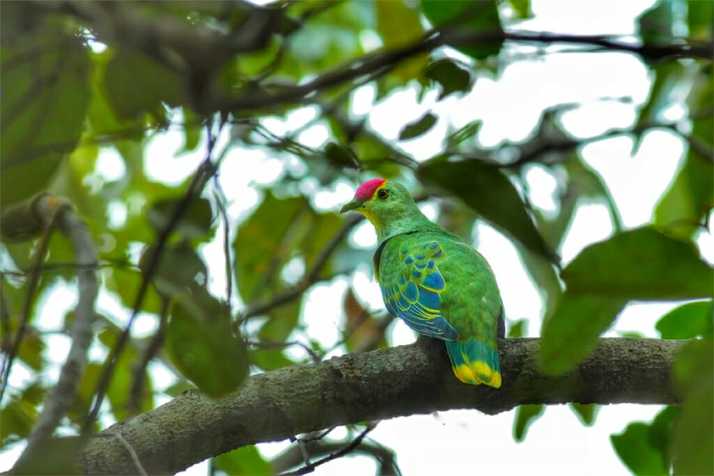 Wildlife of Fogg Dam - Rose-crowned fruit dove