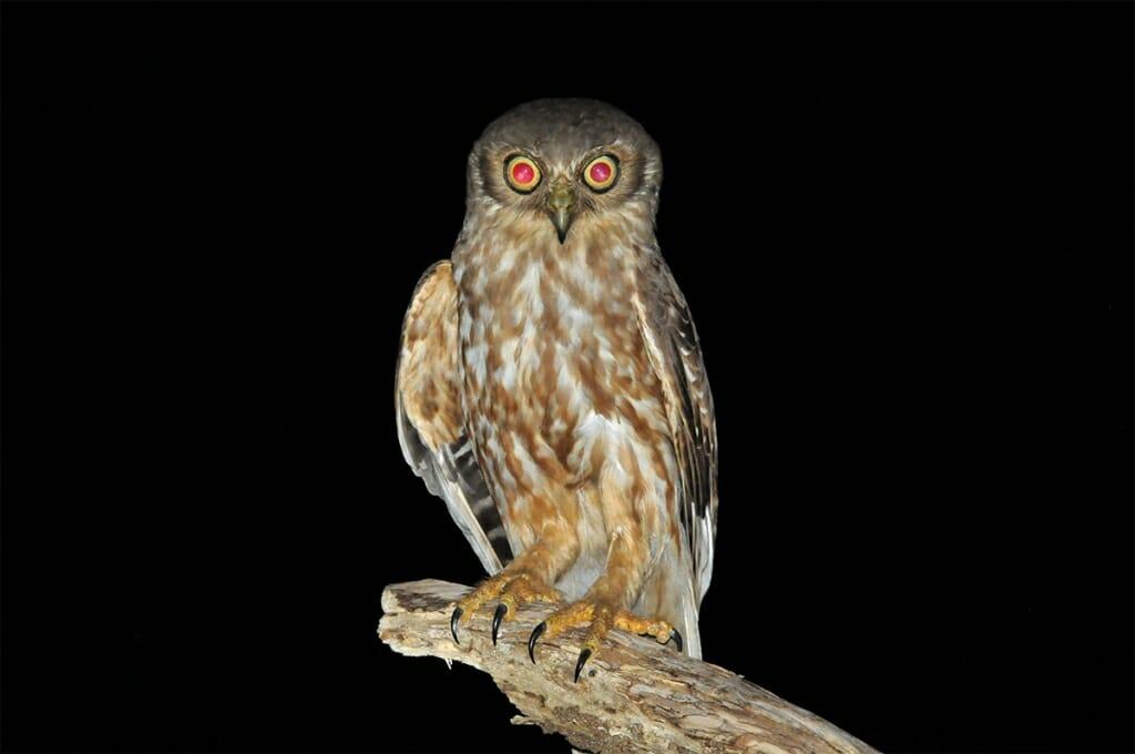 Wildlife of Fogg Dam - Barking owl