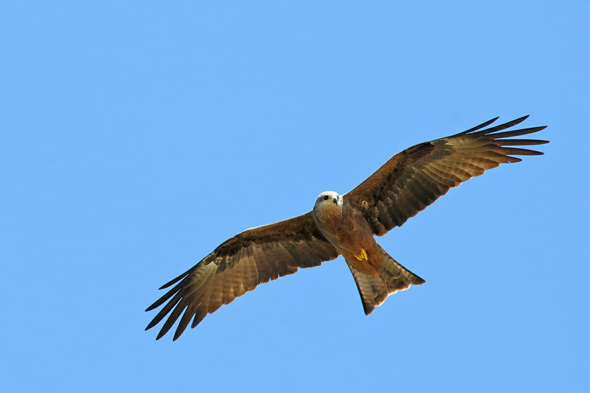 Black kite at Lee Point, Darwin