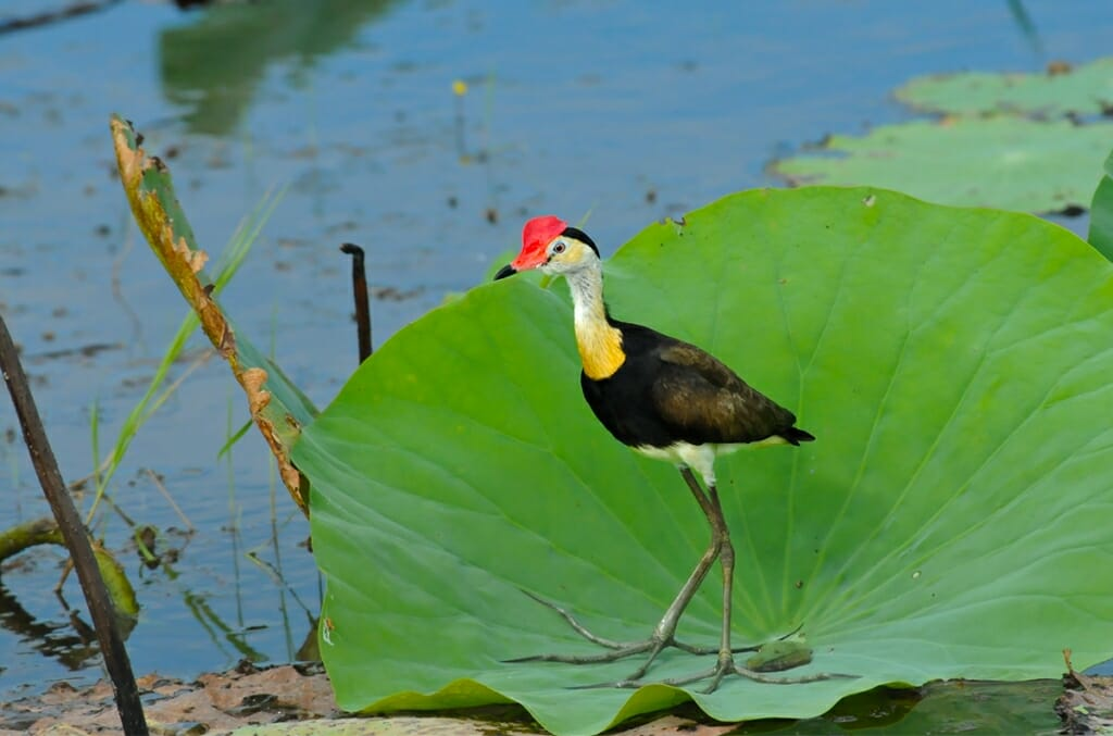 Wildlife of Fogg Dam - Comb-crested Jacana
