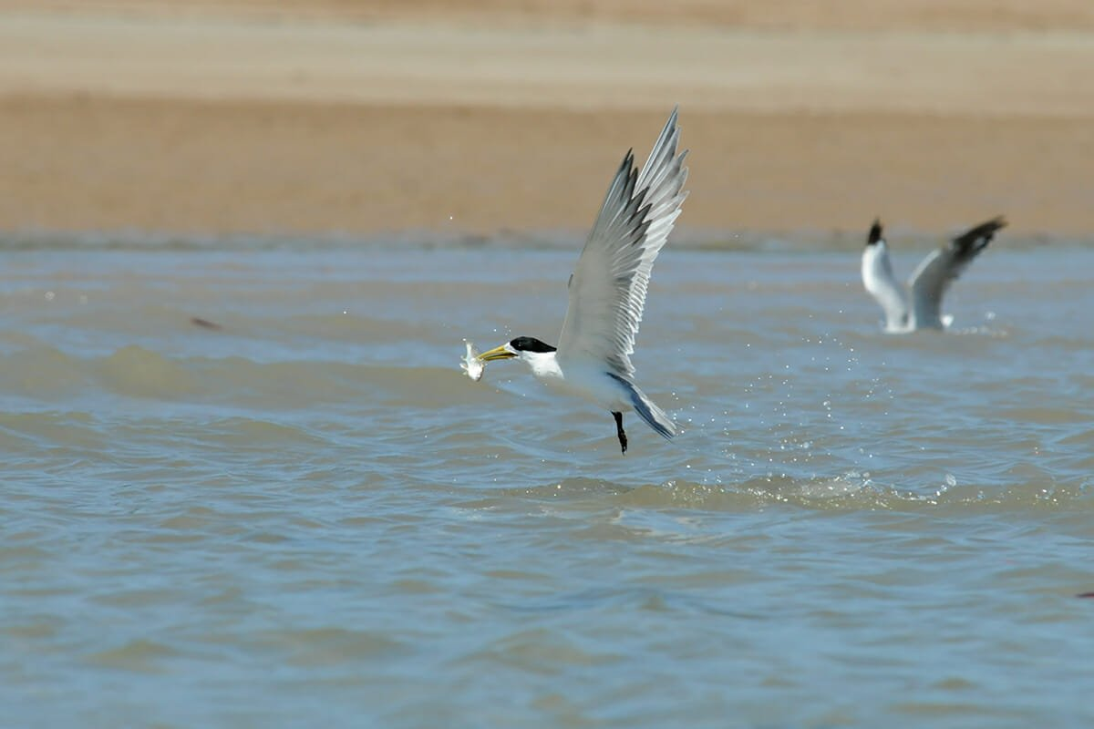 Darwin wildlife - Crested terns hunting fish at Lee Point