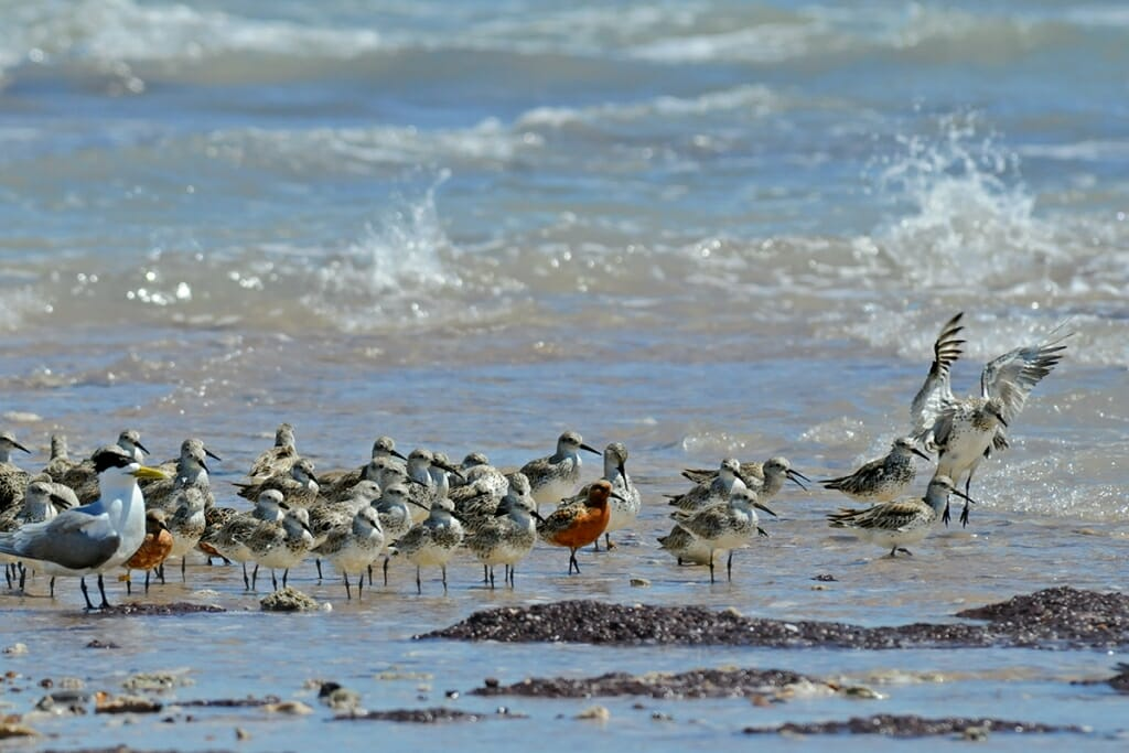 Great knot and red knots at Lee Point, Darwin