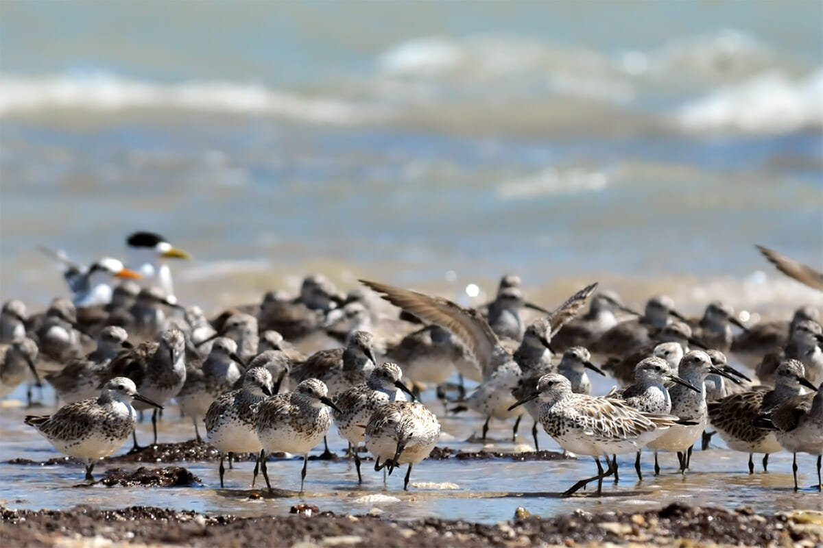 Great knots and red knots at Lee Point, Darwin