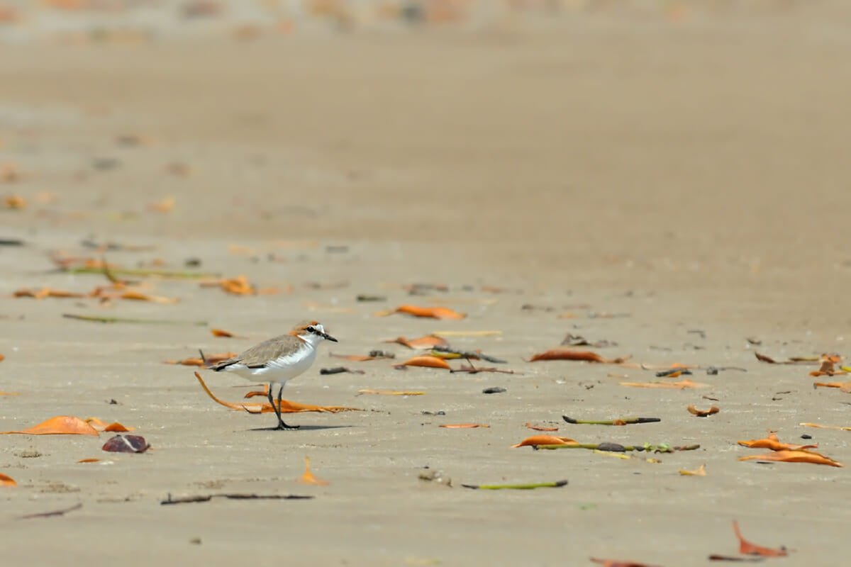 Red-capped plover at Lee Point, Darwin