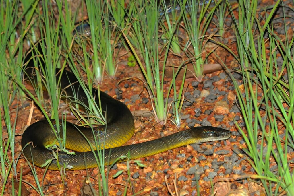 Wildlife of Fogg Dam - Water python