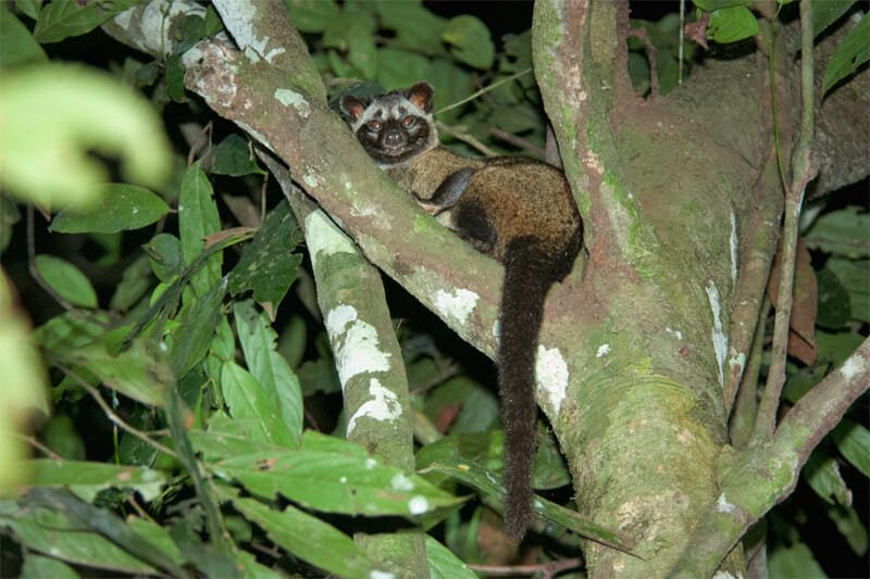 Common Palm civet on Kinabatangan River
