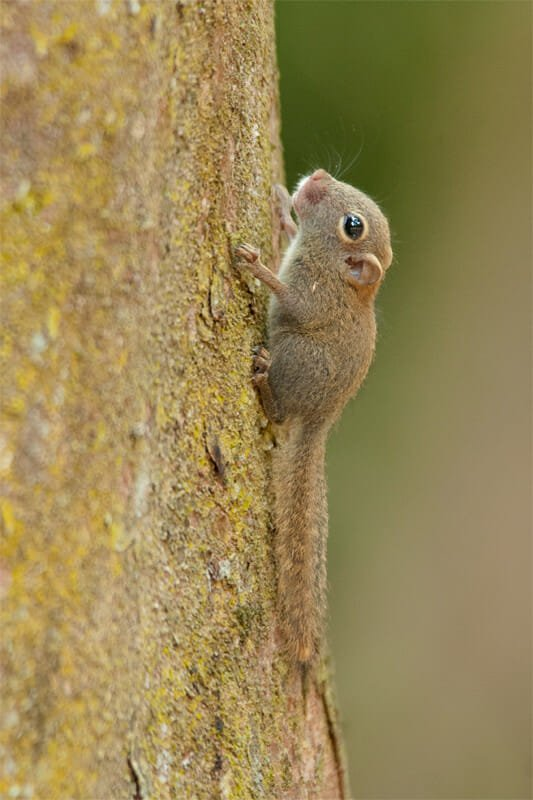 Plain pygmy squirrel