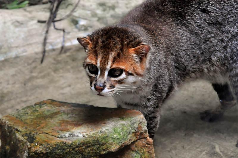 Flat-headed cat, Khao Kheow Zoo, Thailand