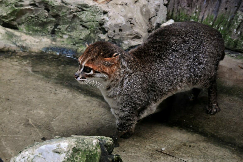 Flat-headed cat in captivity