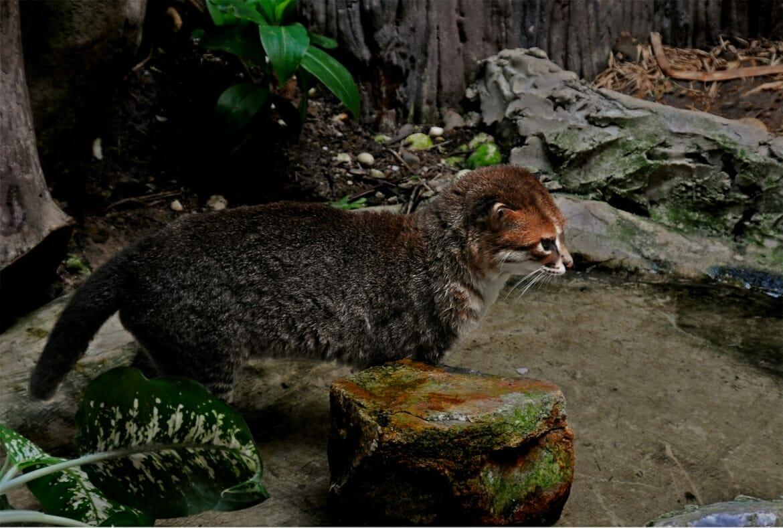 Flat-headed cat in Khaow Kheow zoo, Thailand