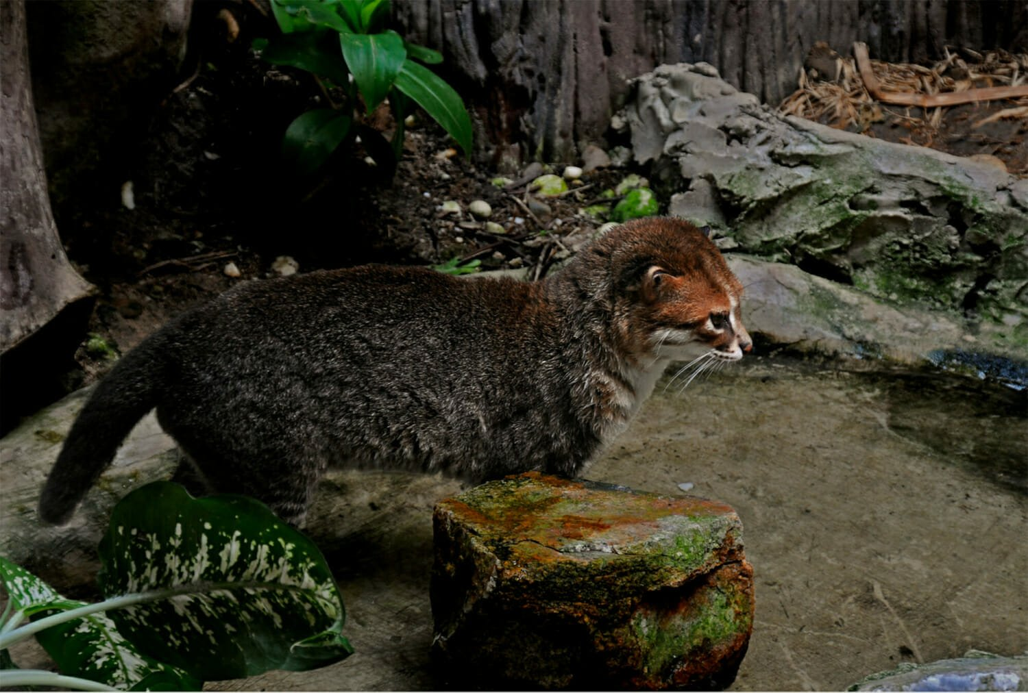 Flat-headed cat in Khaow Kheow zoo, Thailand