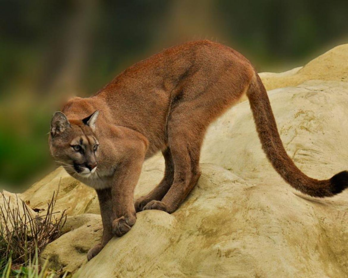 Wild cats of Costa Rica - Puma - Image sourced from Desktop Nexus
