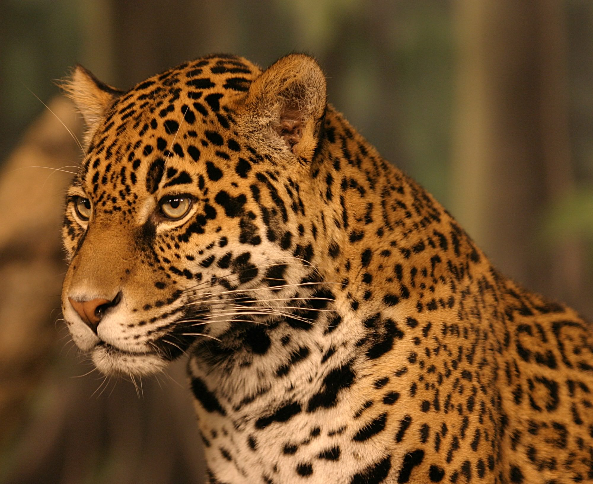 Wild cats of Costa Rica - Jaguar - Image sourced from Wikipedia