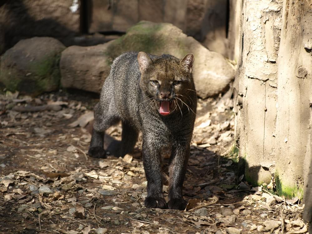 Jaguarundi - Image sourced from Wikipedia
