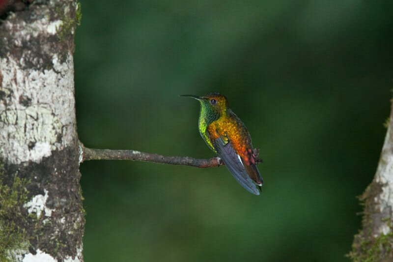 Wildlife watching in Monteverde - Coppery-crowned emerald