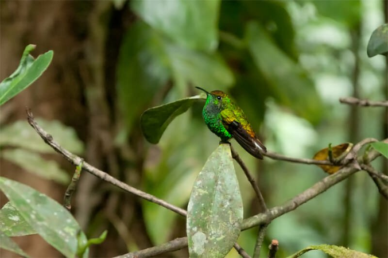 Coppery-crowned emerald