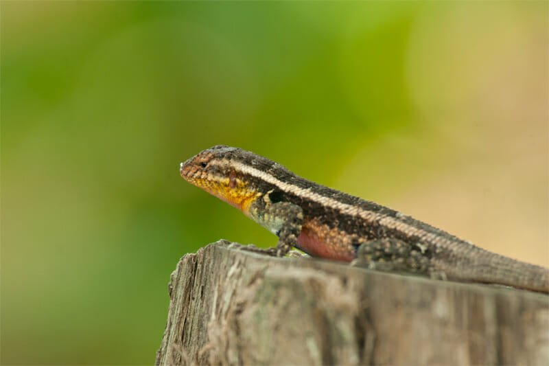 Wildlife of Riu Guanacaste Resort - Lizard